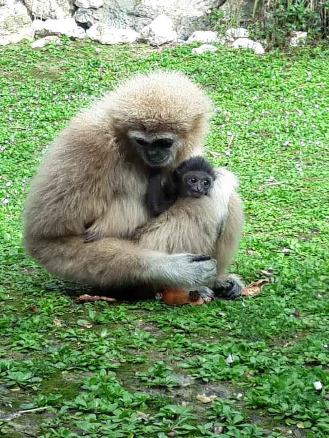 Parco zoo, benvenuto al baby gibbone | CentroPagina – Le ultime notizie di Ancona e provincia